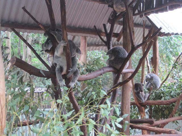 Joey der Wunsch-Koala und seine Freunde schlafen noch.